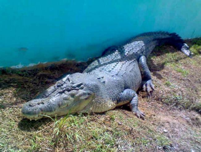 Zomrel najväčší krokodíl chovaný v zajatí