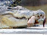 Vykonali pitvu najväčšieho krokodíla chovaného v zajatí