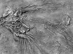Dievča našlo fosílie pterosaura, pomenovali ho po nej