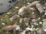 Po sviniach našli v čínskej rieke tisíc mŕtvych kačíc