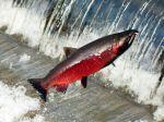 Geneticky modifikované lososy sa dokážu krížiť so pstruhmi