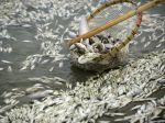 Z čínskej rieky vylovili stotisíc kilogramov mŕtvych rýb