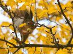 Na stromoch možno na jeseň vidieť nielen veveričky