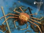 Video: Výmena panciera najväčšieho kraba na svete