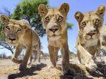 Foto, Video: Medzi divokými šelmami