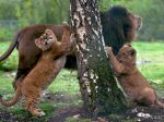 Západoafrické levy sú na pokraji vyhynutia, zostáva len 400 jedincov