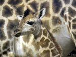 V bratislavskej ZOO sa narodil samček žirafy
