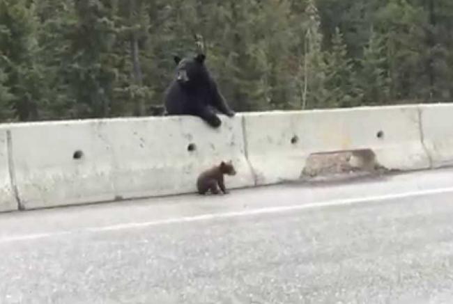 Video: Medvedica zachraňuje svoje mláďa