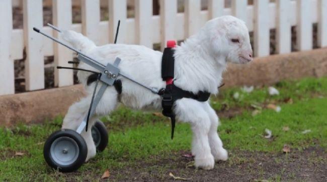 Video: Invalidný vozík pre kozliatko