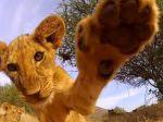 Video: Najmilšie mláďa leva