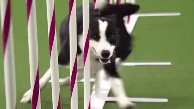 Video: Čo všetko sa dokáže naučiť pes