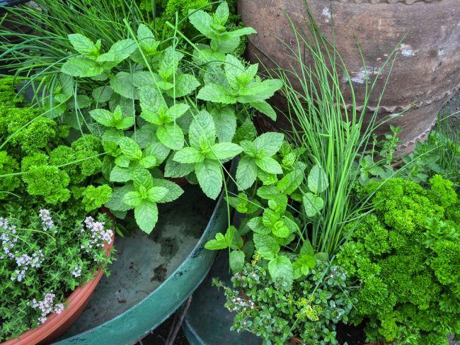 Top 9 liečivých rastlín, ktoré si môžete vypestovať sami