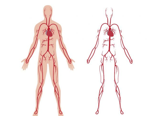 Výsledok vyhľadávania obrázkov pre dopyt krvný obeh