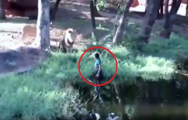 Video: Opitý muž vošiel do výbehu pre levy. To, čo urobil, zaskočilo aj zvieratá