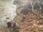 Skupina opíc v Paname sa dostala do kamennej doby