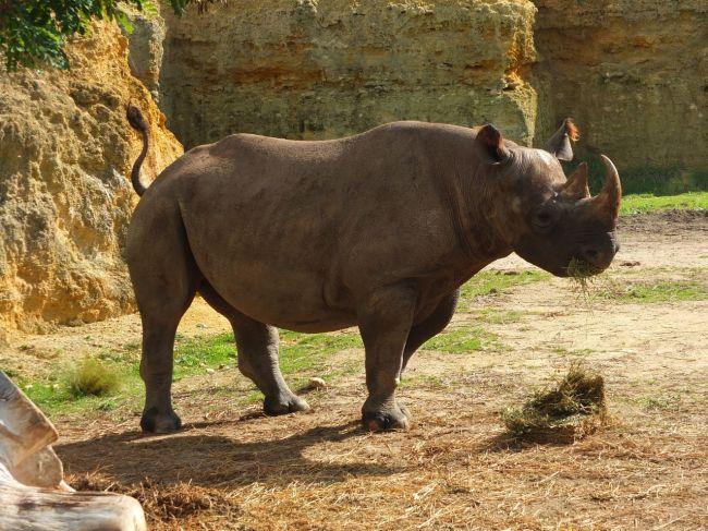 V Keni uhynulo po presune osem kriticky ohrozených nosorožcov čiernych