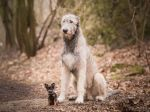 Sú múdrejšie malé alebo veľké psy? Odborníci rozhodli