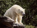 V Rusku vyhlásili po invázii medveďov bielych stav núdze