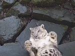 Video: V ZOO nainštalovali novú kameru. Z reakcie snežného leoparda sa všetci smiali