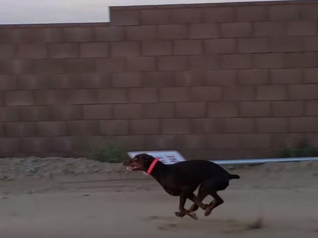 Video: Tohto psa nepredbehnete ani autom. Takto rýchlo dokáže behať