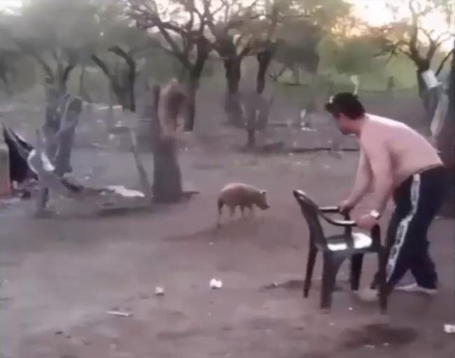 Video: Muž si zobral stoličku a chcel chytiť malé prasa. Takýto koniec však nečakal