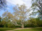 Vzácny platan z Komjatíc je považovaný za najhrubší strom na Slovensku
