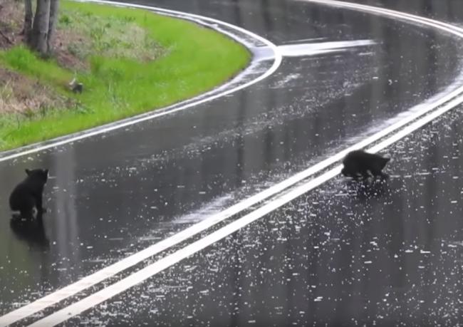 Video: Vodič našiel na ceste medvieďatá. Vtom však prišla medvedica a rázne zakročila