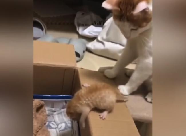 Video: Mačke došla trpezlivosť s potomkom. Týmto ťahom všetkých pobavila