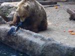 Video: Vysilená vrana sa topila v rybníku. Z bezvýchodiskovej situácie ju zachránil medveď