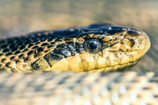 Vedci z Univerzity Komenského objavili nový druh hada, nazvali ho po zabudnutom kráľovstve