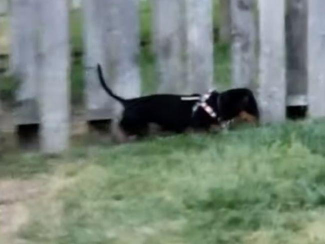 Video: Ako zabrániť psovi v preliezaní plota? Táto rodina to vyriešila raz-dva