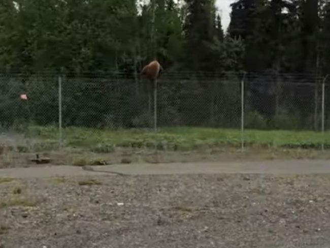 Video: Medveďom nerobia problém ani ploty. Takto cez ne dokážu preliezť