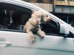 Prevážanie psa v aute počas horúčav má svoje pravidlá, venujte im pozornosť