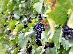 SR nevyužíva štátnu pomoc vôbec, tvrdí zväz vinohradníkov a vinárov