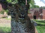 Bratislavskú zoo evakuovali, hľadali mláďa leoparda