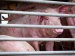 Na Slovensku potvrdili ďalší prípad afrického moru ošípaných