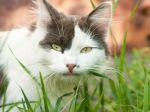 Záhada vyriešená: Prečo mačky jedia trávu?