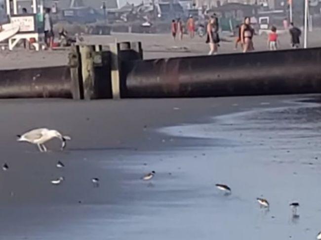 Video: Nebojácna čajka si na obed dopriala živého žraloka