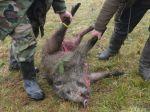 Veterinári nariadili intenzívny lov diviakov