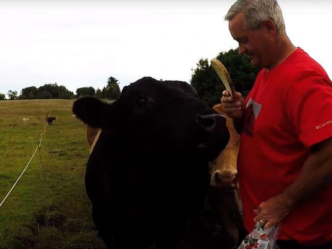 Video: Muž si na kŕmenie tonového býka obliekol červené tričko. Ako sa zviera zachová?