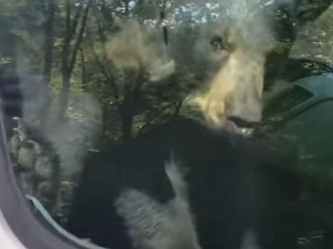 Video: Medvieďatá sa vymkli v aute, pomoc si privolali trúbením na klaksón