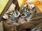 Slovenka, ktorá chcela zachrániť tigríčatá, musí zaplatiť 600 eur