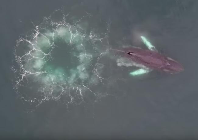 Video: Veľryby vytvorili vír smrti