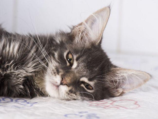 Ako zistiť, či vašu mačku niečo bolí: Toto si všímajte na jej tvári