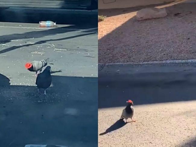 Video: V uliciach Las Vegas sa objavujú holuby s klobúkmi. Ochranári bijú na poplach