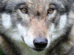Agrorezort zastavuje lov vlka dravého na Slovensku