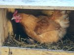 Agrorezort vyzýva chovateľov v súvislosti s vtáčou chrípkou k obozretnosti