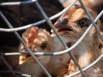 Zaznamenali druhý prípad vtáčej chrípky v SR, v obci Cífer v drobnochove
