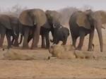 Video: Levy číhali na bezbranné sloníča. Novej posile sa však podarilo niečo neuveriteľné