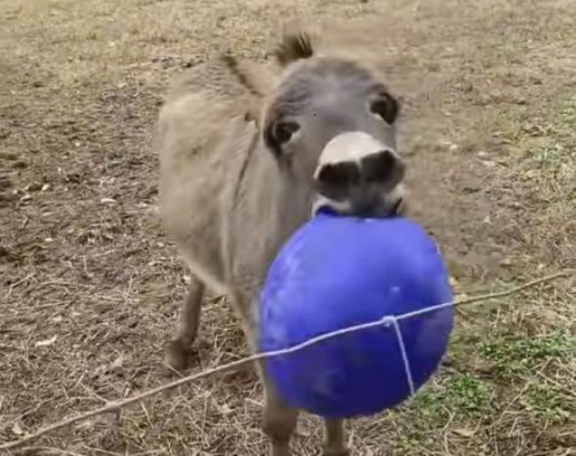 Video:  Oslík dostal novú loptu, jeho reakciu musíte počuť